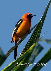 Male Hooded Altimira Oriole in Palm