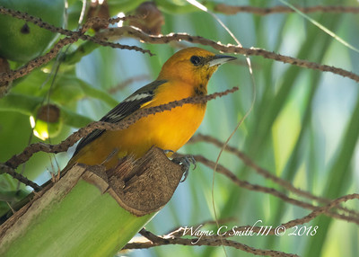 Female Hooded; Oriole in Palm