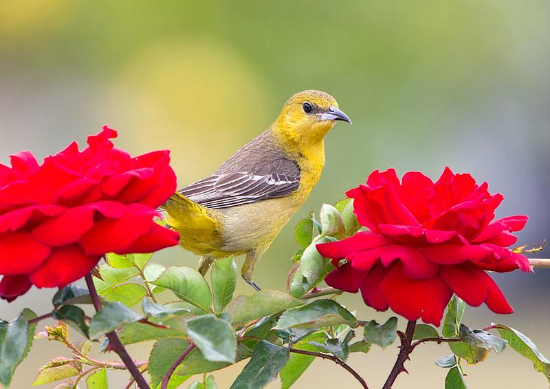 Female on Roses