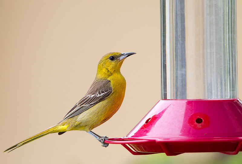 Hooded Oriole Female at Hummingbird Feeder