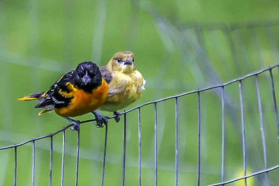 Male Baltimore Oriole With Juvenile