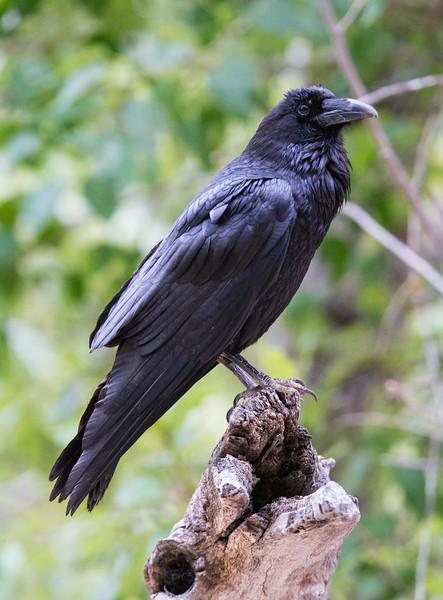 Raven1521