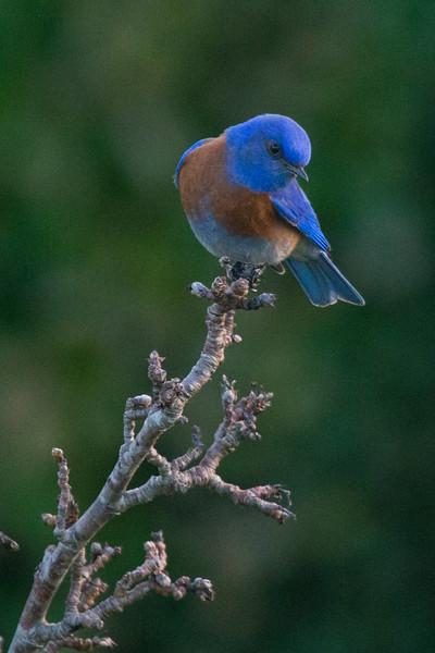 Bluebird(8x12)4898