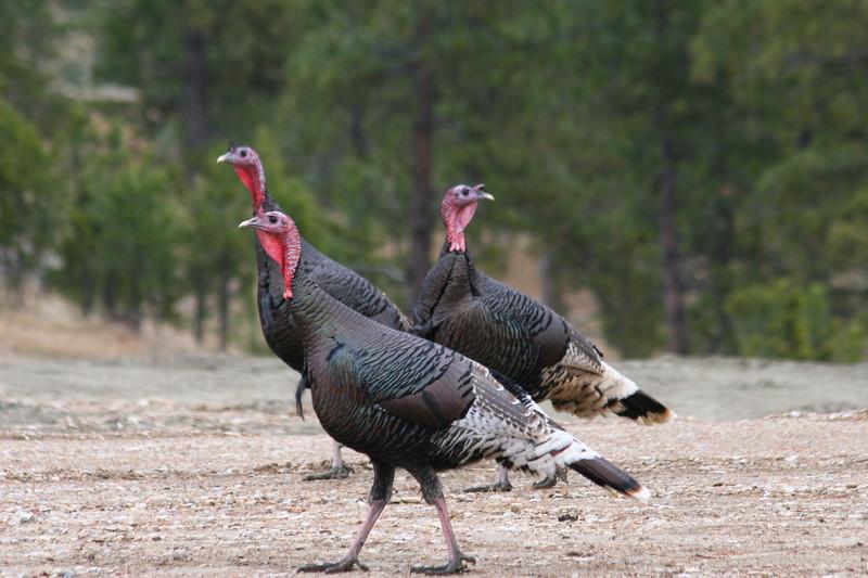 Three Miriam Turkey Gobblers in Montana