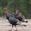 Three Miriam Turkey Gobblers in Montana