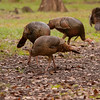 Osceola Turkeys searching for food