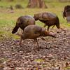 Osceola Turkeys searching for food
