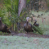 Osceola Turkey Hens