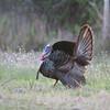 Osceola gobbler turkey in strut