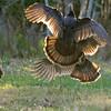 Two Osceola Turkey Gobblers fighting