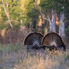 Two Osceola Turkey Gobblers struting