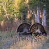 Two Osceola Turkey Gobblers struting