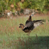 Osceola turkey hen stretches her wings