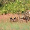 Osceola turkey hens in tall grass