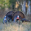 Two Osceola Turkey Gobblers strut
