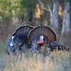 Two Osceola Turkey Gobblers strut