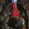 Miriam turkey gobbler