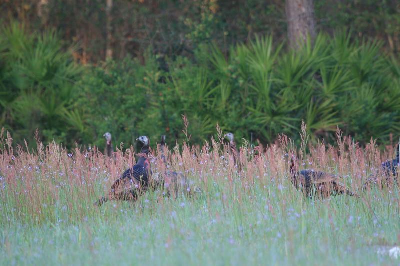 Osceola turkey hens