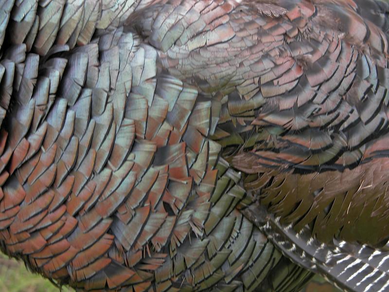 Colorful Osceola turkey feathers