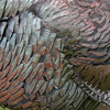 Colorful Osceola turkey feathers