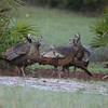 Osceola Turkey hens having some girl talk