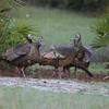 Osceola Turkey hens having some girl talk