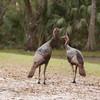 Two Osceola Turkey Gobblers