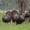 Three Osceola Turkey Gobblers struting