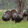 Three Osceola Turkey Gobblers struting