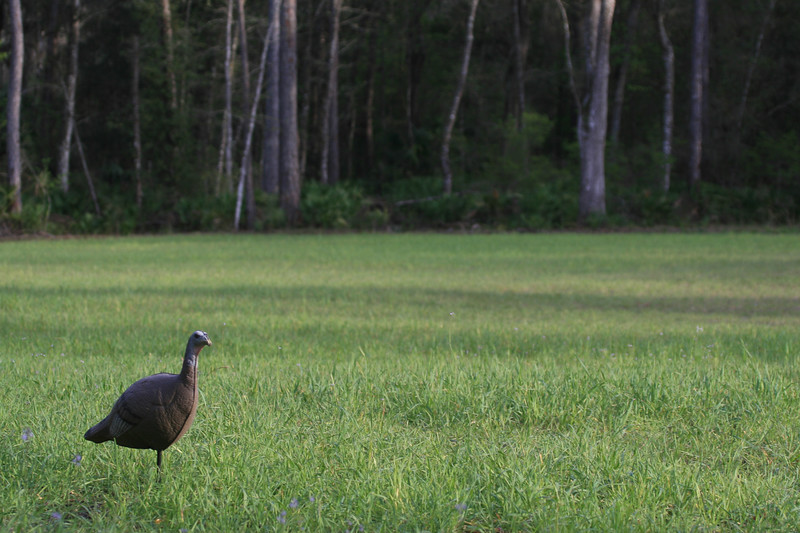 Jezebel, a turkey decoy, stands to lure the gobbler in for the hunter
