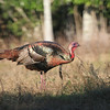 Osceola Turkey Gobbler with sun catching the feathers come alive with color