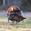 Osceola Turkey Gobbler struts to warn the other gobbler away