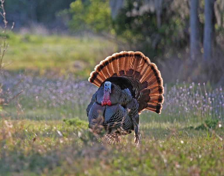 Osceola Turkey Gobbler struts