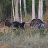 Osceola Turkey Gobblers strut