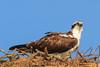 Osprey (b1516)