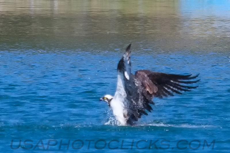 Osprey (b1515)