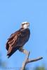 Osprey (b1514)