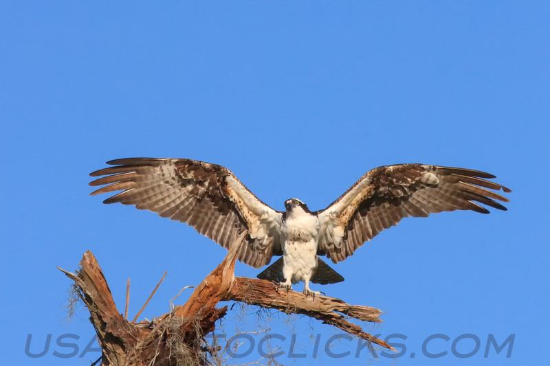 Osprey (b1513)