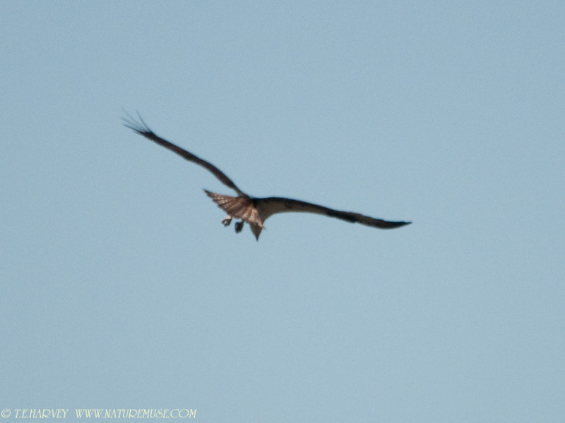 Osprey hovering above a fish.