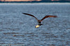 WHAT A BIG CATCH ! Ospreys wing-span can be 5-7 feet with a body length of 17-25 inches, so the fish may be over 20 inches.  The sun glistens brightly from the side of the fish as the Osprey has begun to rotate it towards the flight direction.