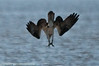 Dive close-up. One can imagine the fish is well below the surface which required the vertical dive. Ospreys are know to dive a meter below the surface.