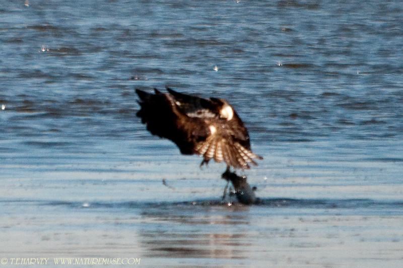Now we know why the long struggle.  A huge fish is being held with one talon.  The Osprey was in the water about 10 seconds.