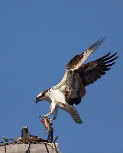 Osprey-male-fish-flight_ADK_3063
