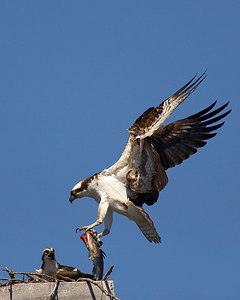 Osprey-male-fish-flight_ADK_printed-8x10-3063