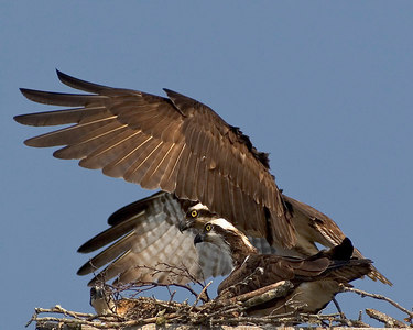 ADK-Osprey-Nest_cropped printed-10x8-3733