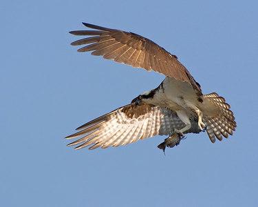 ADK-Male-Osprey_3729