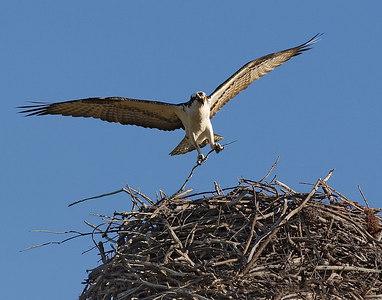 Osprey flying into nest-5900
