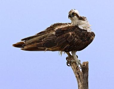 Osprey on tree_8088