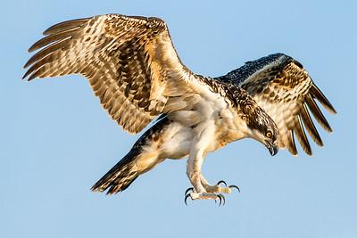 Juvenile Osprey Wild