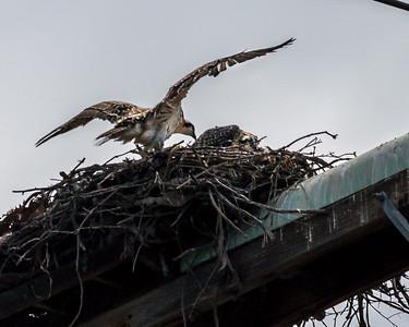 Osprey Nest, May 5, 2015